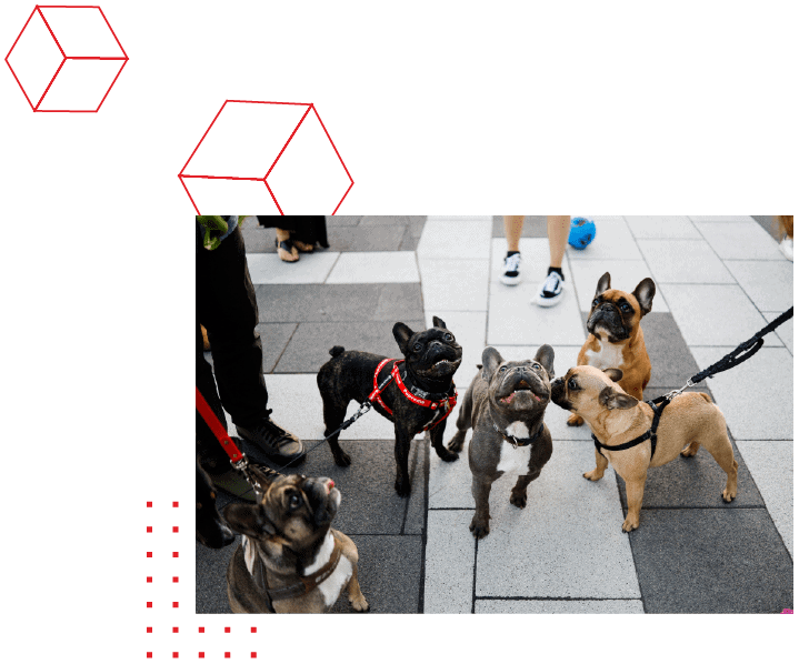 5 French Bulldogs, visiting GlobalVision at a company event